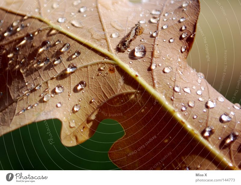 Der schöne Regentag Farbfoto Detailaufnahme Makroaufnahme Wasser Wassertropfen schlechtes Wetter Gewitter Blatt Tropfen braun grün Gefäße Eichenblatt