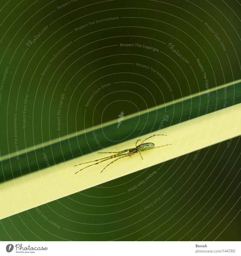 Spinne grün Pflanze ruhig gelb Gras Angst sitzen warten beobachten diagonal abwärts flach platt
