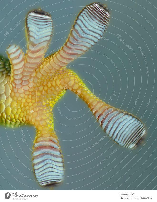"""türkis zwerggecko Natur Tier Wildtier 1 hängen krabbeln blau grün """"echse echsen geckoartige geckos gekkonidae gekkoninae gekkota kriechen lauern ruhen sauria"""