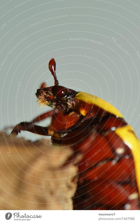 Kongorosenkäfer Tier Wildtier Käfer Tiergesicht Flügel 1 krabbeln exotisch gruselig braun gelb Ast Insekt kongorosenkäfer Rosenkäfer schön Farbfoto
