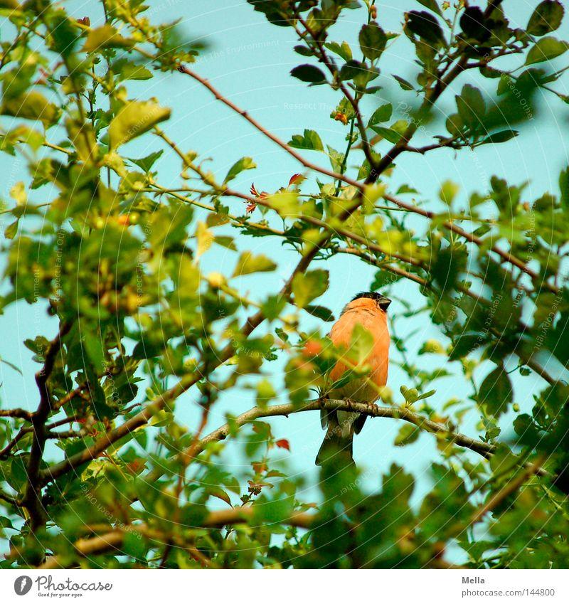 Dompfaffenfrühling Natur Baum grün Pflanze Blatt Tier Frühling orange Vogel klein Umwelt sitzen natürlich verstecken hocken verborgen