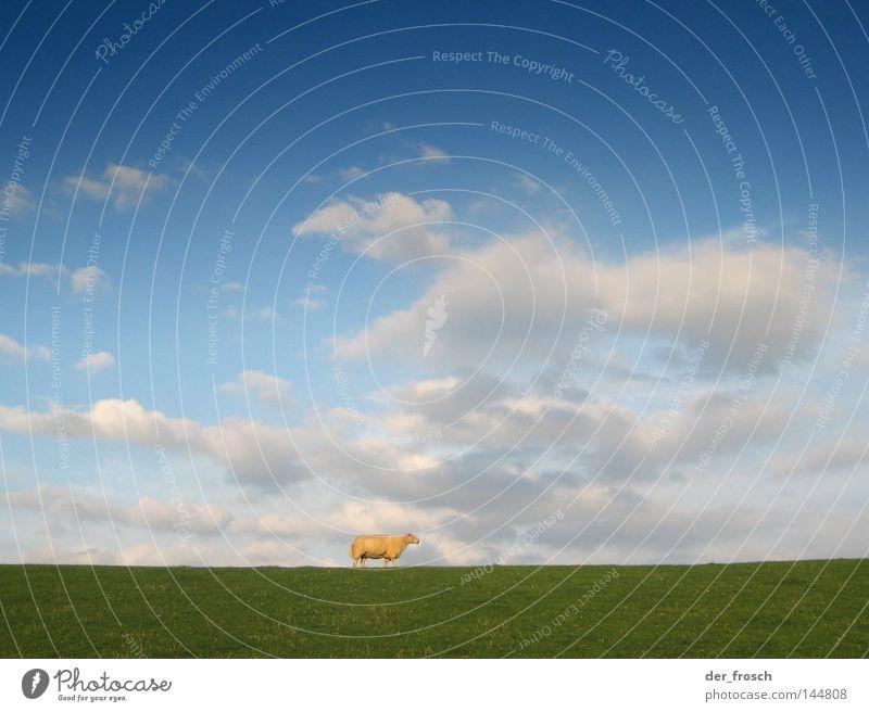 deichschaf Schaf Wiese Gras Deich blau Himmel grün Wolle Rasenmäher Wolken Einsamkeit Säugetier sheep blue sky clouds ostfriesisches milchschaf