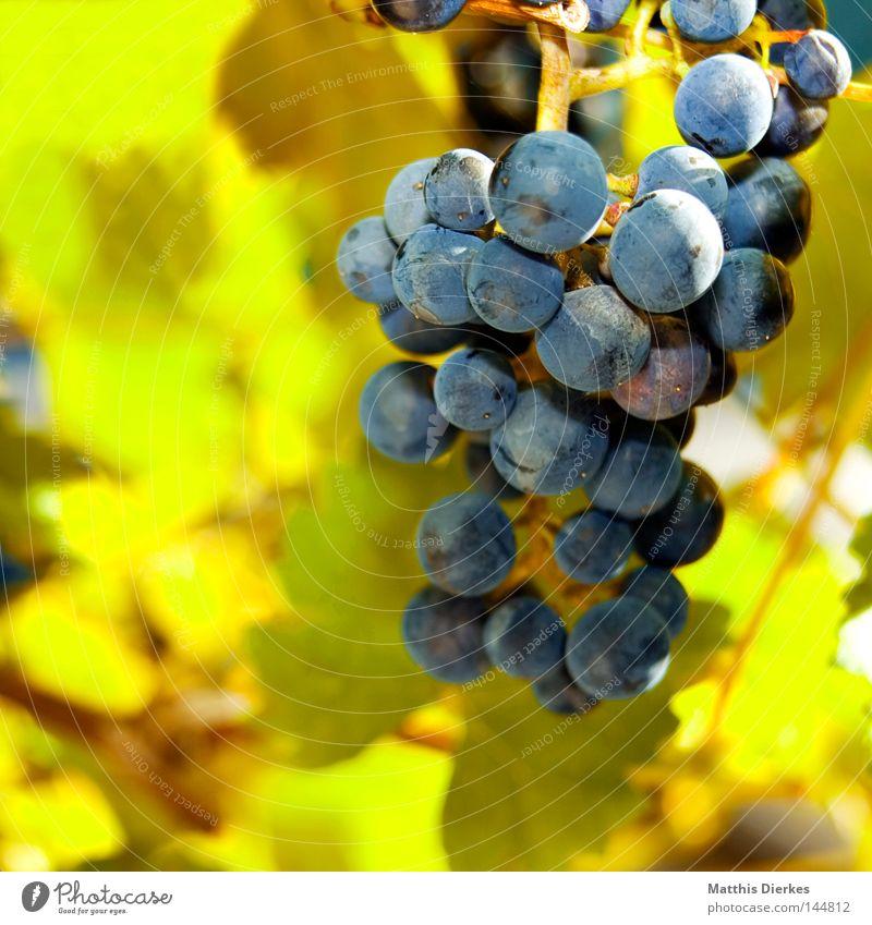 Weintrauben Weinblatt Blatt Sommer Weinlese Stengel Sträucher Ranke Gegenlicht grün Weinbau Weinberg Alkohol Ernte grünlich Lampe leuchten