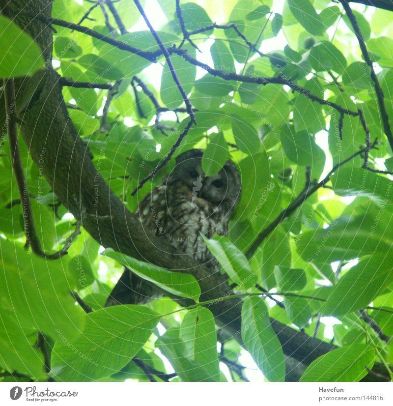 Eulensicht beobachten Ast Wachsamkeit Baumkrone Zweig achtsam Eulenvögel Blätterdach Eulenaugen