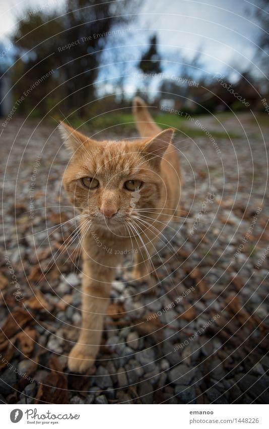 Hofkatze Häusliches Leben Garten Himmel Tier Haustier Katze Tiergesicht Fell Pfote 1 Stein laufen Blick Aggression bedrohlich listig weich Gefühle Vertrauen