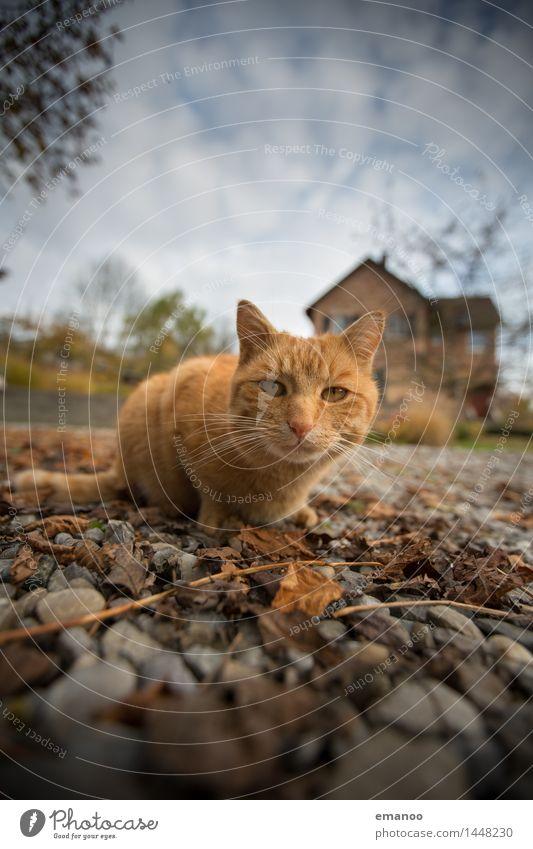Hauskatze Lifestyle Häusliches Leben Garten Natur Erde Himmel Wolken Einfamilienhaus Platz Tier Haustier Katze 1 Stein Blick warten Neugier niedlich Tiger
