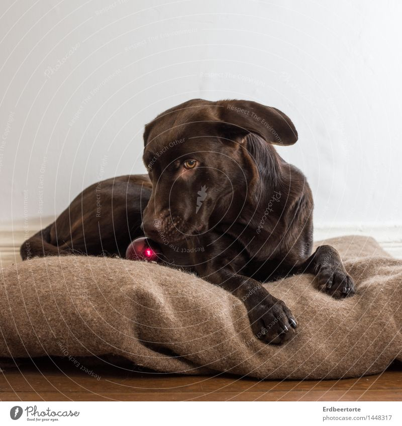 Jingle Bells Tier Haustier Hund Labrador 1 Bewegung liegen Spielen schön braun Freude Jagdhund Platz Decke Farbfoto Gedeckte Farben Innenaufnahme Studioaufnahme