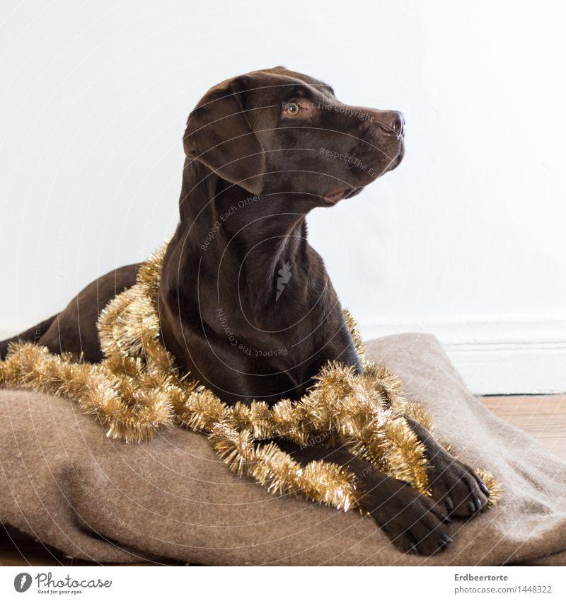 Diva elegant Party Feste & Feiern Weihnachten & Advent Tier Haustier Hund Labrador 1 beobachten liegen braun gold Wachsamkeit festlich Girlande Lametta