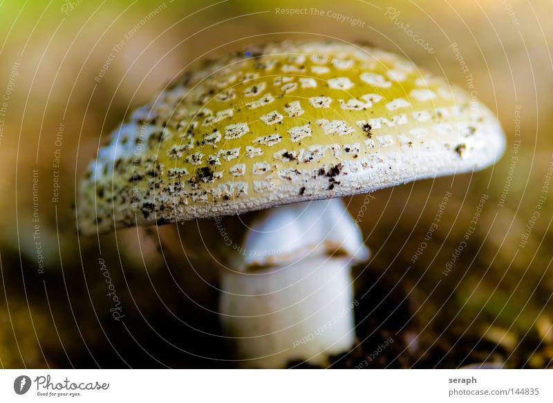 Ein Männlein... Sporen Waldboden Pilzhut gepunktet Perlpilz Umwelt Umweltschutz Biologie Reifezeit Herbst ökologisch Symbiose Lebensformen Natur speisepilz