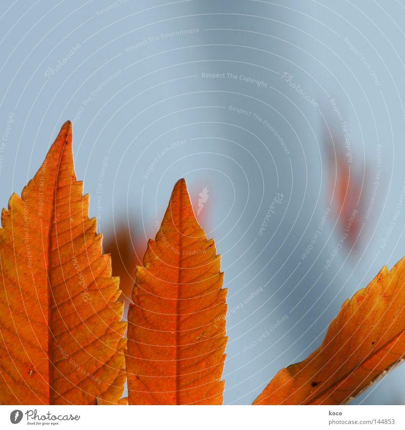 blattwerk Baum Blatt Herbst Linie braun orange verrückt Spitze blau-grau