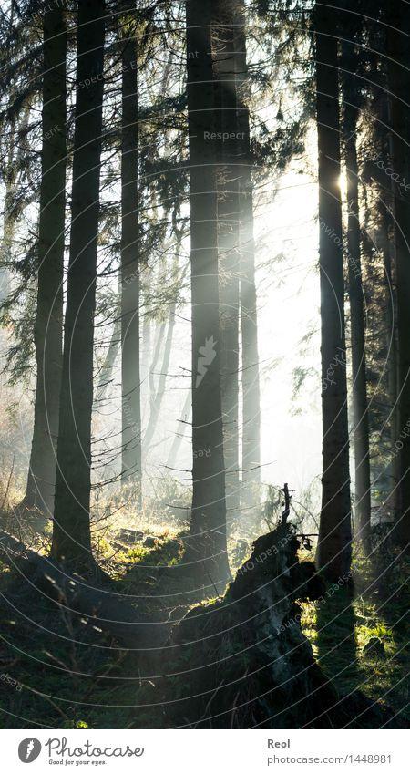 Wunderwald Umwelt Natur Landschaft Sonne Sonnenlicht Sommer Herbst Schönes Wetter Pflanze Baum Wildpflanze Tanne Baumstamm Zweige u. Äste Wald Nadelwald