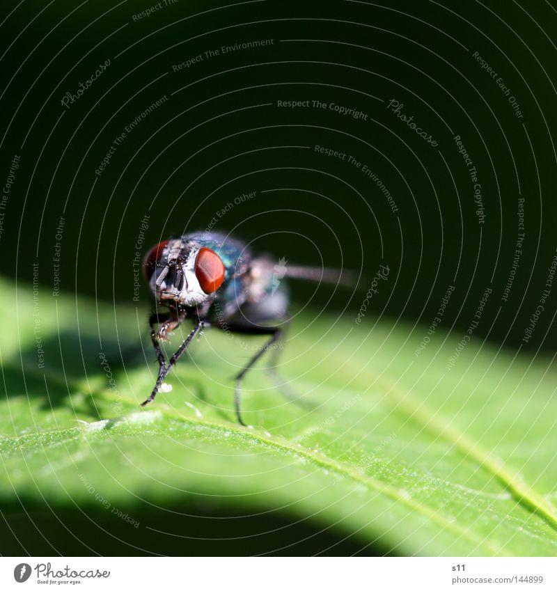Fly Insekt Facettenauge frontal glänzend Reinigen Blatt grün Licht Fleischfliege Tier Makroaufnahme Nahaufnahme Sommer Fliege fliegen Flügen Blick Vorderseite