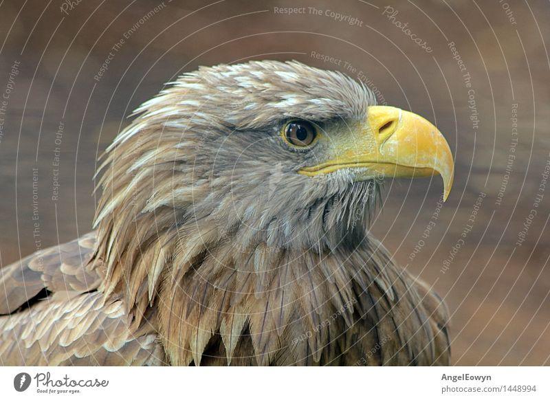 Steinadler Natur Tier Wildtier Vogel Tiergesicht Zoo 1 wild braun Kraft Adler Greifvogel Schnabel Auge Feder Farbfoto Nahaufnahme Menschenleer Tag Totale