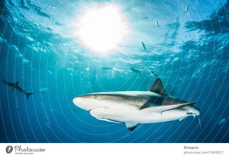 Karibischer Riffhai Natur Ferien & Urlaub & Reisen blau Sommer Wasser Meer Tier Leben wild gefährlich Fisch Risiko tief tauchen Unterwäsche tropisch