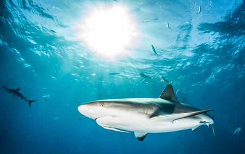 Karibischer Riffhai Riffhaie Hai-Tauchen Bahamas Meer Fisch Tier Unterwasseraufnahme Wasser Natur Meerestier blau tropisch wild Hintergrund neutral tief
