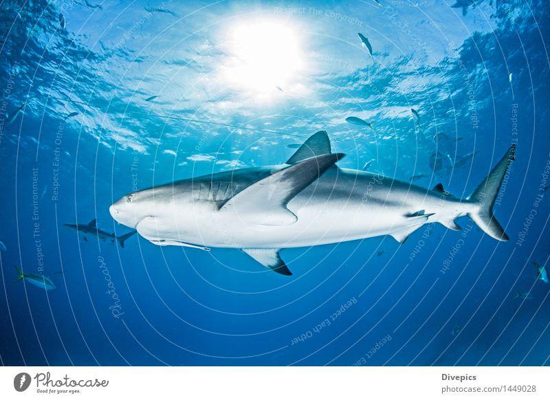 Karibischer Riffhai Riffhaie Hai-Tauchen Bahamas Meer Fisch Tier Unterwasseraufnahme Wasser Natur Meerestier blau tropisch wild Hintergrund neutral
