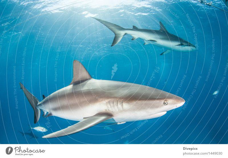 Karibischer Riffhai Riffhaie Hai-Tauchen Bahamas Meer Fisch Tier Unterwasseraufnahme Wasser Natur marin blau tropisch Tierwelt Hintergrund tief Korallen wild