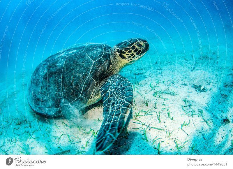 Meeresschildkröte tauchen Tier Wildtier Fisch Schwimmen & Baden authentisch außergewöhnlich gut schön wild grün Gefühle Schildkröte Farbfoto mehrfarbig