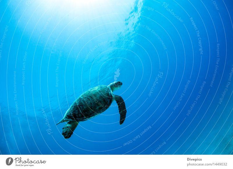 Meeresschildkröte tauchen Natur Unterwasseraufnahme Türkei Tier wild Wildtier Fisch Hai-Tauchen Schildkröte blau Tauchgerät Wasser Ferien & Urlaub & Reisen