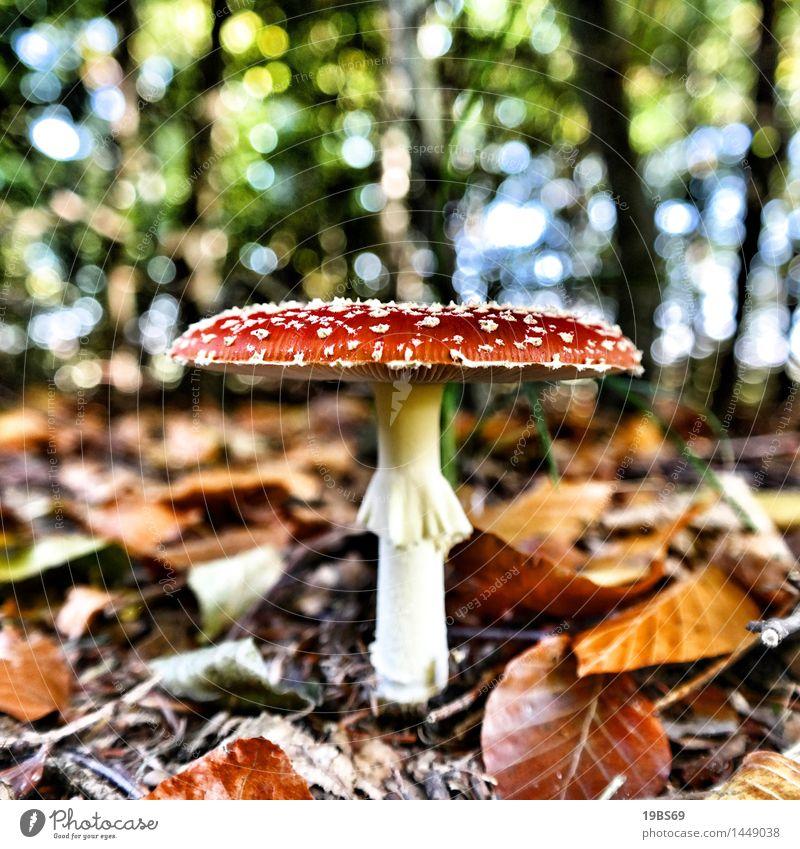 Der Fliegenpilz Umwelt Natur Herbst Pflanze Wildpflanze Wald rot Giftpilz Farbfoto mehrfarbig Außenaufnahme Nahaufnahme Muster Strukturen & Formen Menschenleer