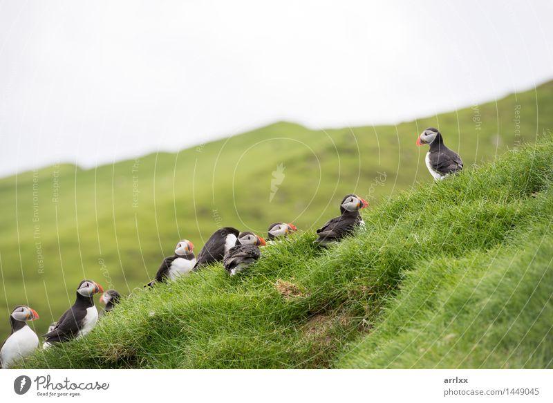 Atlantische Papageientaucher, Fratercula arctica Natur weiß Landschaft Tier schwarz Umwelt Gras natürlich lustig Vogel wild Wildtier Feder Tiergruppe niedlich