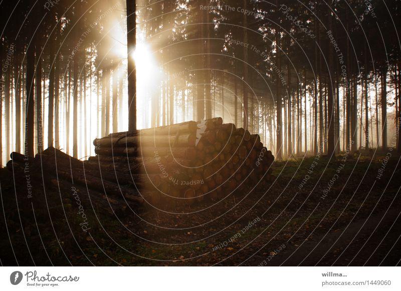 die erleuchtung der baumstämme Fichtenwald Wald Nadelwald Baumstamm Holz nachhaltig Umwelt erleuchten Ereignisse Natur Landschaftspflege Außenaufnahme