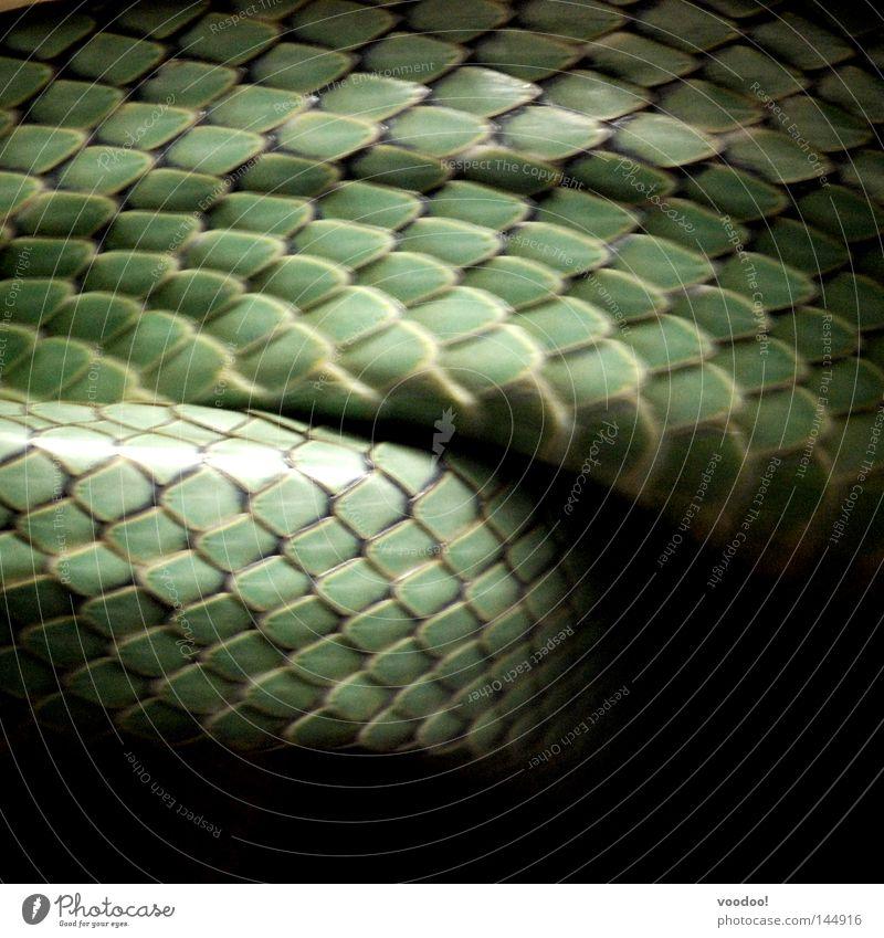 Morphologie der Schuppen grün Tier Haut glänzend Geschwindigkeit gefährlich Schlange Reptil Lurch Kopfschuppe Amphibie häuten Natter Schlangenhaut