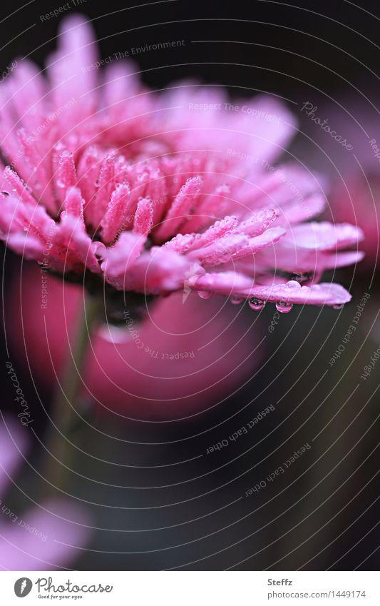 Blume im Regen Natur Pflanze Herbst Wetter Blüte Blütenblatt Herbstblume Astern Gartenblume Gartenpflanzen Blühend nass natürlich schön rosa Regenstimmung