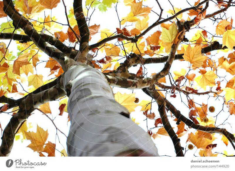 Herbst 1 Baum grün Blatt gelb Farbe braun orange Perspektive Ast Vergänglichkeit Jahreszeiten Baumstamm Platane