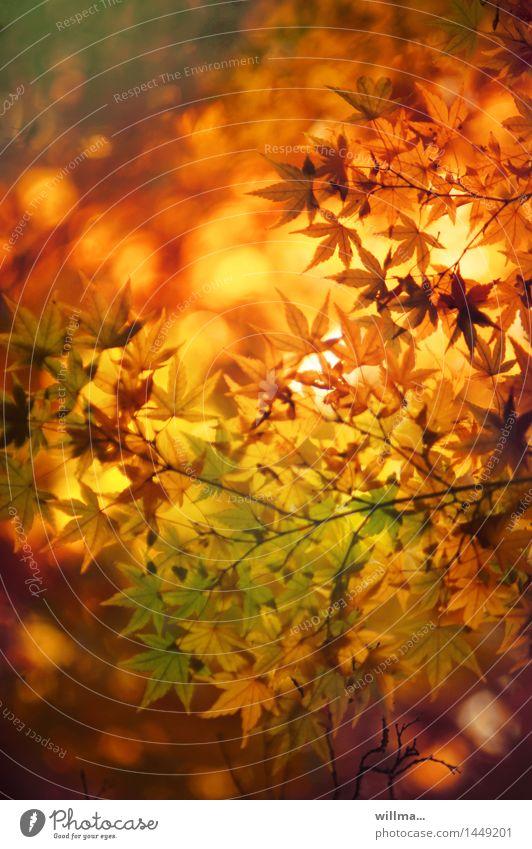alle hamms gesucht, mir haaams gefunden! | helgiland II Natur Herbst natürlich Schönes Wetter Wohlgefühl Herbstlaub herbstlich Herbstfärbung leuchtende Farben Japanischer Ahorn Warme Farbe