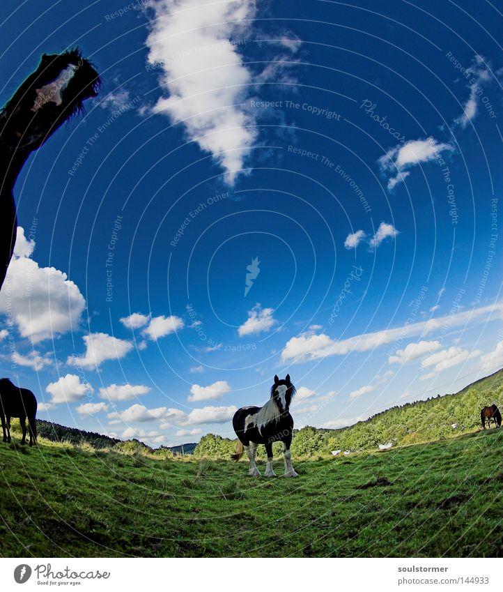 rum um die Weide Natur Himmel grün blau Wolken Berge u. Gebirge Pferd Hügel Neugier Fressen Säugetier krumm Hessen Isländer Island Ponys