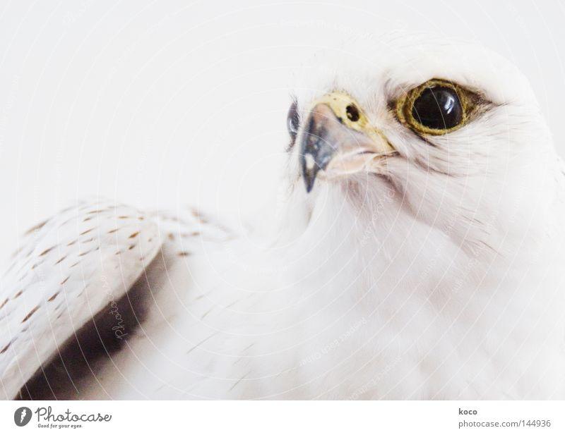 alive or dead? Vogel Adler Feder Schnabel weiß Winter stark Schnee Mut Flügel Museum Blick Auge