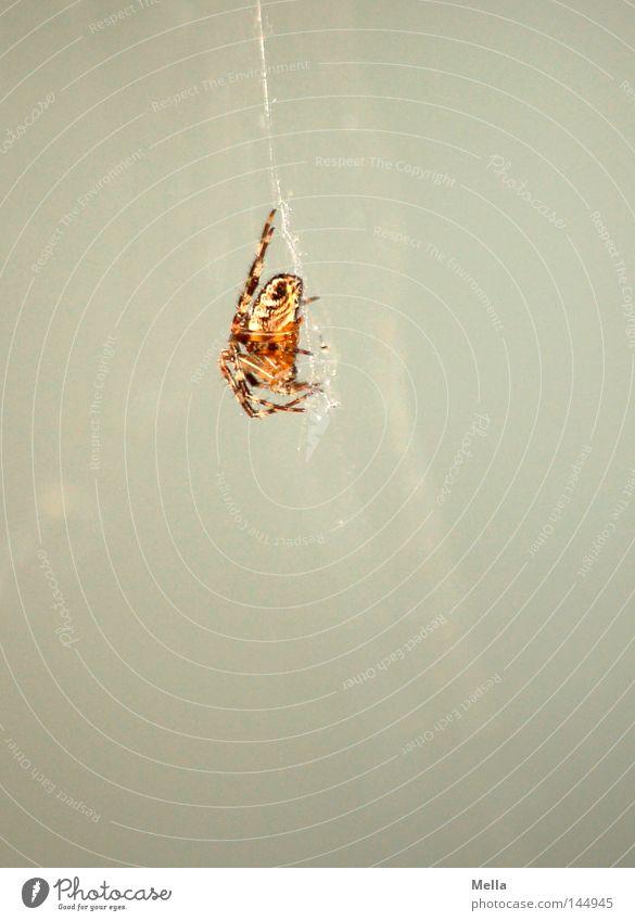 Abhängen weiß grau warten sitzen beobachten Spinne Gift kleben hocken Spinnennetz Klebrig Kreuzspinne