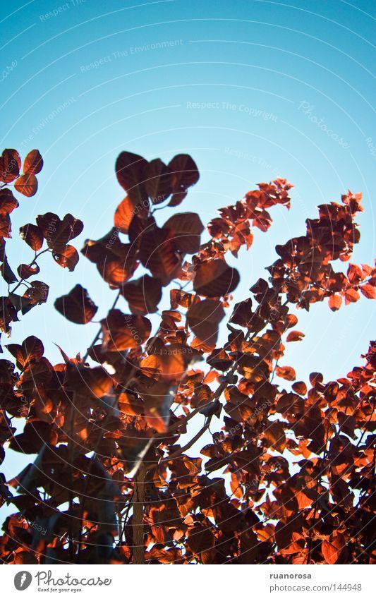 Himmel blau Baum rot Pflanze Sommer Blatt Frühling Park Sträucher Wissenschaften Schmuck Gartenbau Zweige u. Äste Stauden Schlüsselblumengewächse