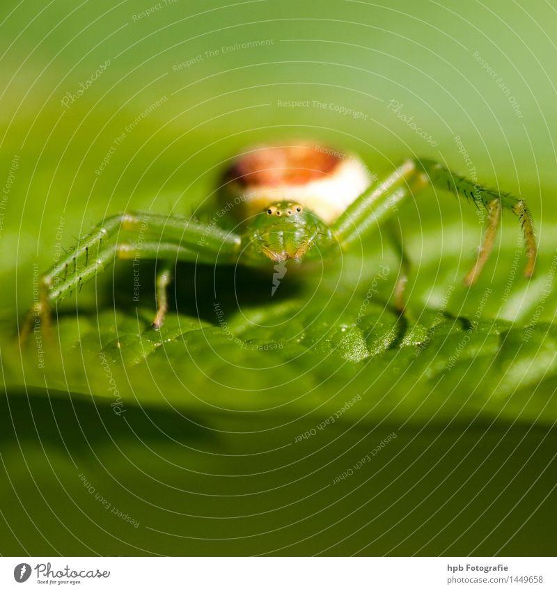 Grüne Kürbisspinne Natur Tier Spinne Tiergesicht 1 Fressen krabbeln außergewöhnlich Ekel frech Freundlichkeit niedlich grün Gefühle Tierliebe entdecken