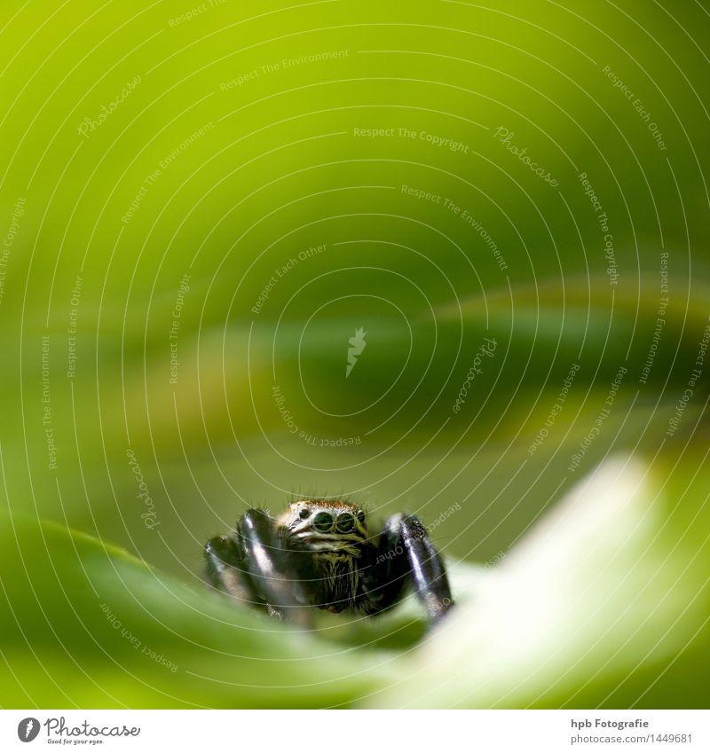 Springspinne Natur grün Tier Freundschaft elegant einzigartig Neugier entdecken Überraschung Vorfreude Fressen skurril Begeisterung Ekel Sympathie Spinne