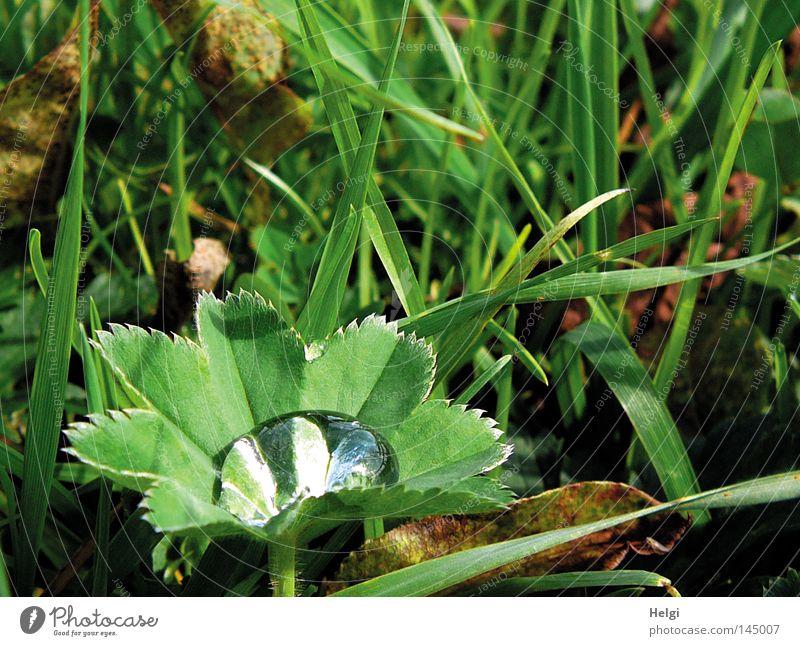 Blatt einer Frauenmantel-Pflanze mit einem dicken Wassertropfen im Blatt nass Stengel Gras Wiese Halm Tau Wetter Schönes Wetter Klarheit durchsichtig Spannung