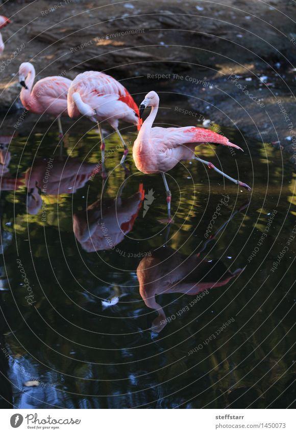 Chilenischer Flamingo, Phoenicopterus chilensis exotisch Ferien & Urlaub & Reisen Tourismus Abenteuer Sightseeing Safari Sommer Küste Seeufer Flussufer Tier