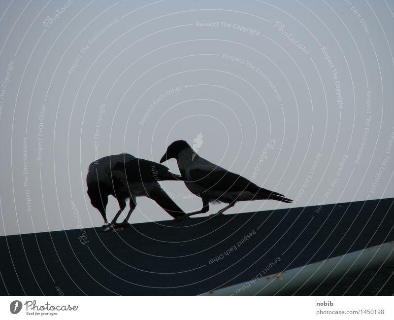 Krähenleckerchen Stadt Tier dunkel schwarz Tod Vogel Zusammensein Wildtier Tierpaar Brücke Dach Neugier Fressen frech Marktplatz klug