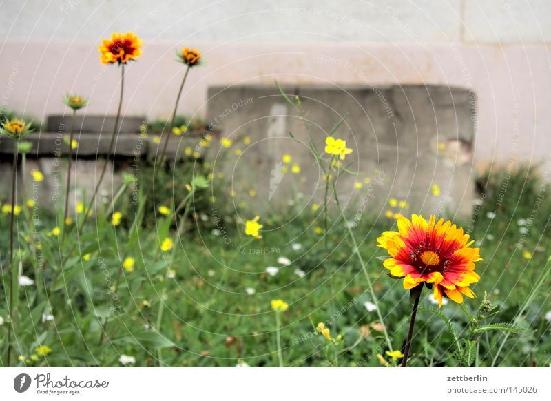 Makroversuch Blume Makroaufnahme Wiese Blumenbeet rund Gras Rasen Vorgarten Astern Anemonen Stiefmütterchen Gärtner Mörder Garten Gartenbau Sommer riesenmakro