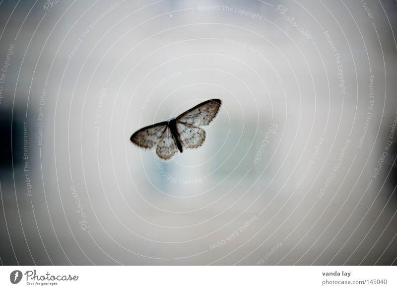 Alter Falter Natur Tier Fenster grau Glas fliegen nah Flügel Insekt Schmetterling Fensterscheibe Motte Tarnfarbe