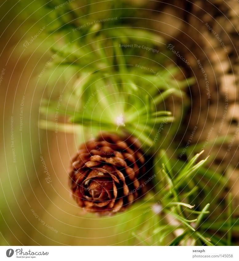Larix Lärche Baum Pflanze Nadelbaum Tannennadel Zapfen Dekoration & Verzierung Botanik Weihnachten & Advent Winter Unschärfe grün braun Makroaufnahme