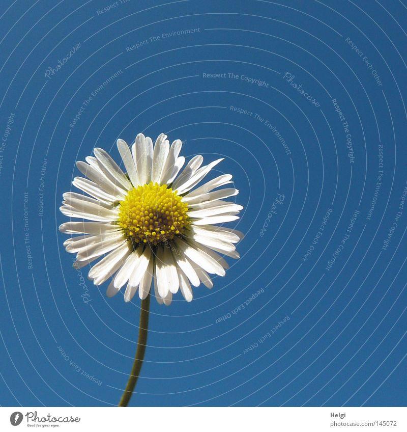 Blüte eines Gänseblümchens im Sonnenlicht vor blauem Himmel Farbfoto Außenaufnahme Nahaufnahme Menschenleer Textfreiraum rechts Textfreiraum oben