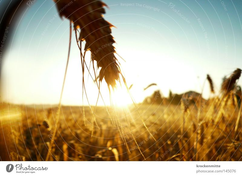 goldene Garben Weizen Korn Getreide Kornbrand Energie Kraft Sonnenaufgang Ähren Landwirtschaft Nutzpflanze Ackerbau Zerealien Corny Länder Schönes Wetter Feld