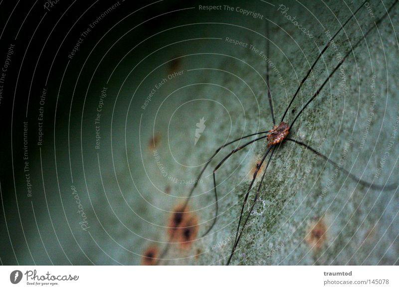 Thekla. Spinne Tier Natur frei Seide Klettern krabbeln nützlich Panik Makroaufnahme Zoo Beute Insekt grün grau Kugel Hälfte Halbkreis Rost Beine Spinnenbeine