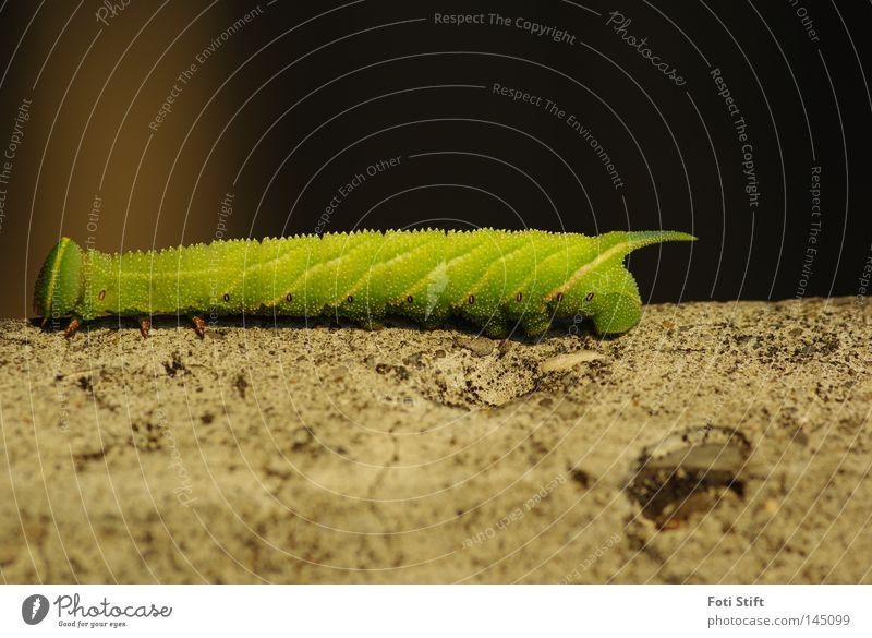 Dein Weg 2 Raupe gelb grün Mauer Schmetterling Makroaufnahme Insekt Freude Nahaufnahme Schwärmer