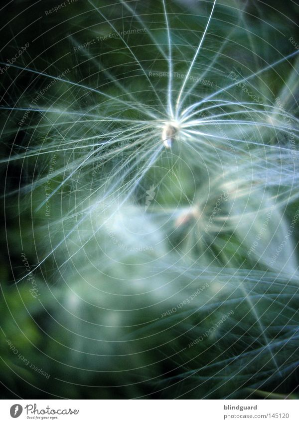 Puschel Natur weiß Pflanze Sommer Blume Tier gelb dunkel Haare & Frisuren träumen Denken klein Wind glänzend Stern (Symbol) weich