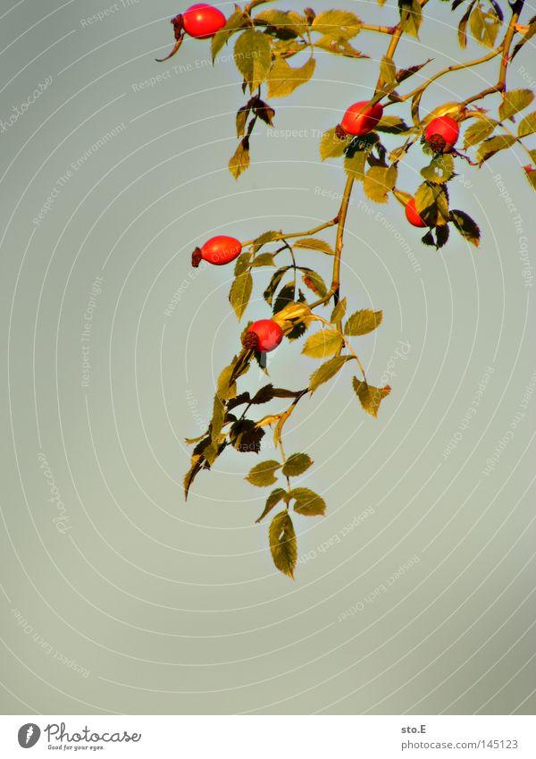 hetschepetsche Pflanze Blatt Beleuchtung Rose Rosenapfel Blüte Herbst Widerhaken Ernährung Marmelade Obstwein Likör Hintergrundbild grau trist einfarbig rot