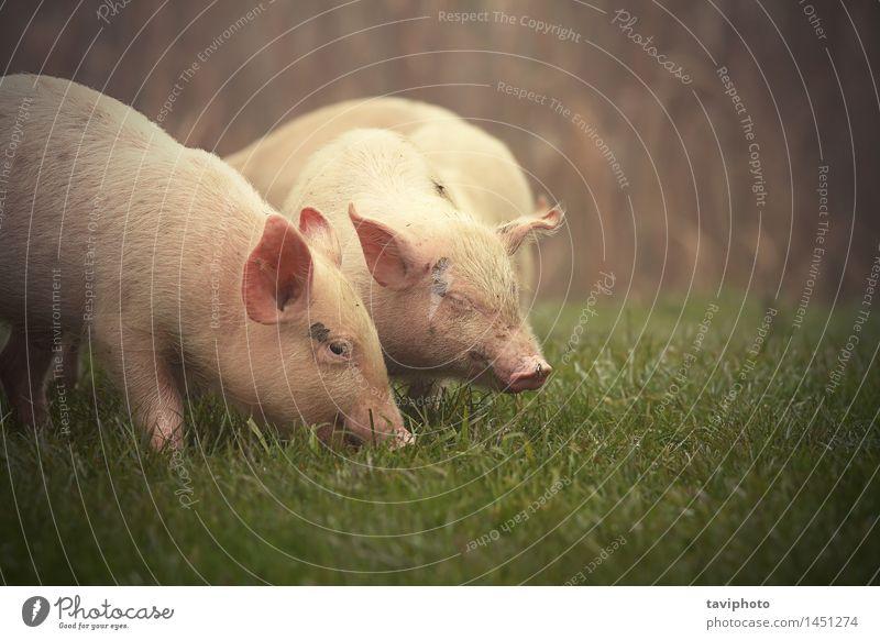 kleine Schweine auf der Wiese Essen Glück Baby Natur Tier Gras Haustier Tierjunges dreckig frei lustig niedlich grün rosa Appetit & Hunger Hausschwein Bauernhof