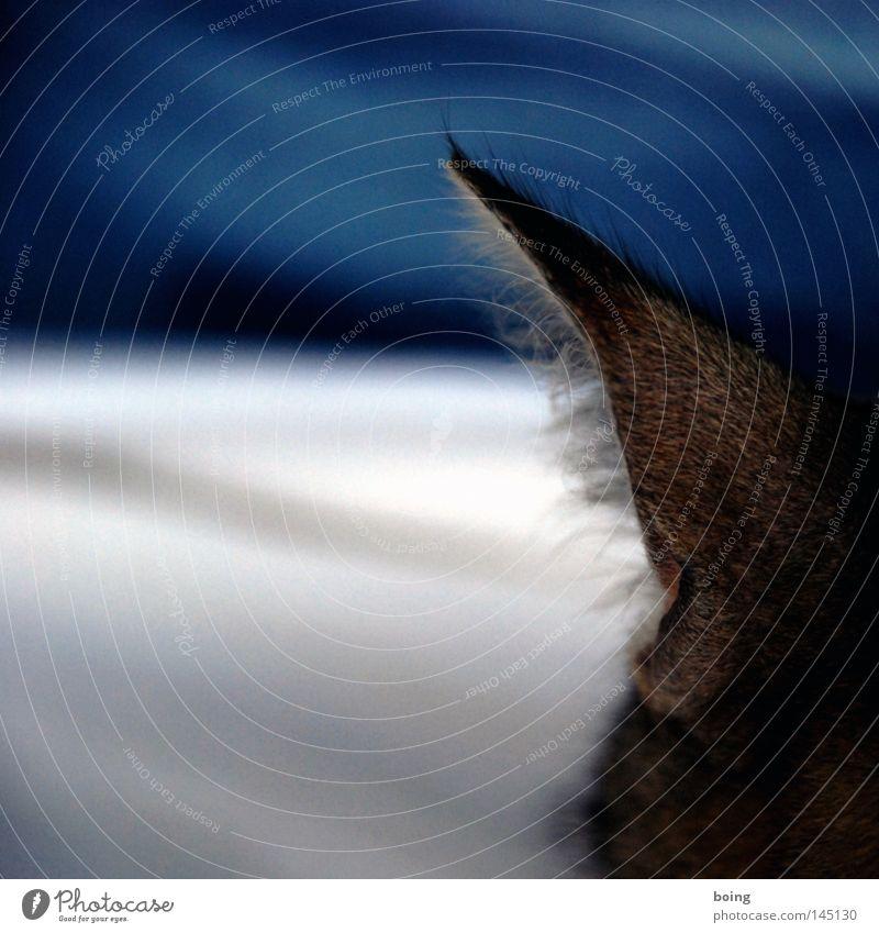 Minka kontrolliert die Gezeiten Katze Ohr Fell hören liegen Schnurren schlafen Erholung Stranddüne Düne Vertrauen Säugetier Park Geräuschhaar Miezekatze